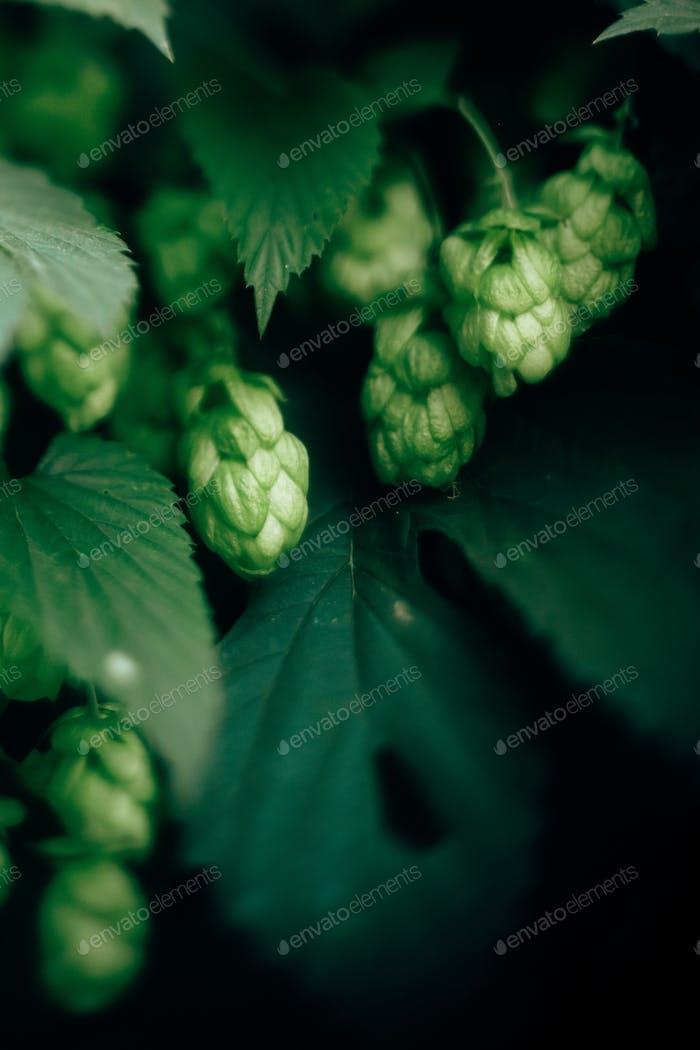 Beautiful green hop cones on bush close up