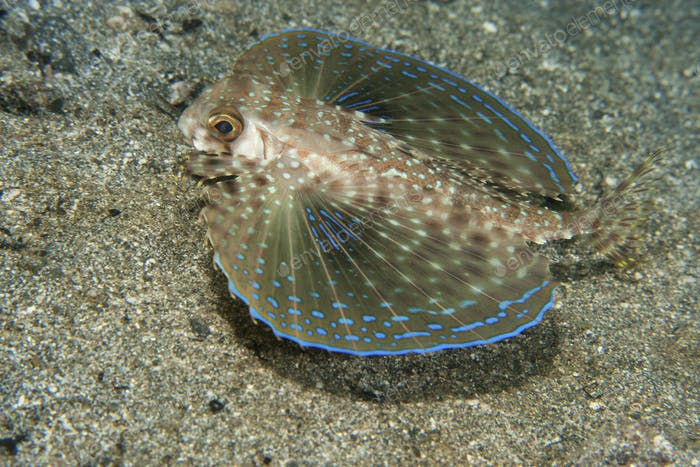 A Flying gurnard spreads its pectoral fins.  Dactylopterus volitans
