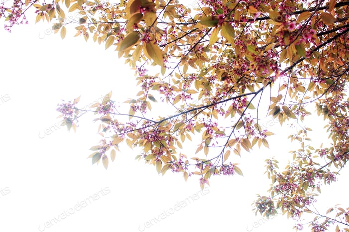 sakura flowers with white background