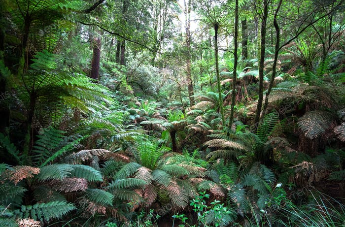 Tree Ferns and Lush Forest in Australia