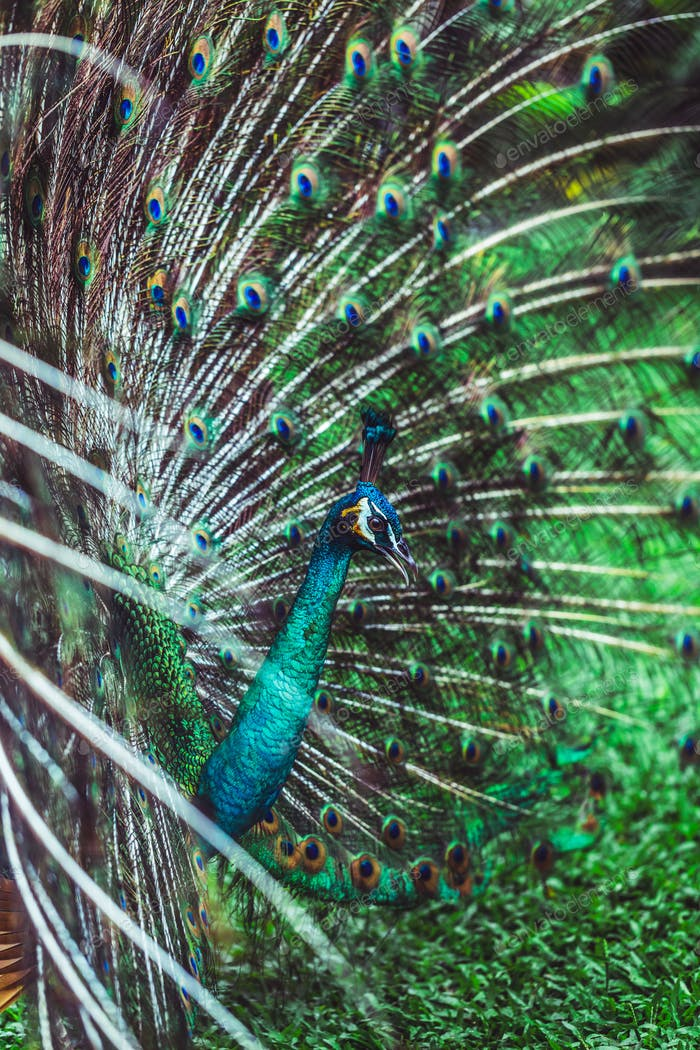 Colorful dancing indian male peacock and its wonderful colorful tail. Portrait close up.
