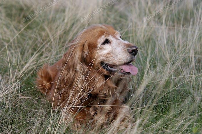 Cocker Spaniel im Gras