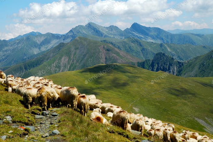Flock of sheep in the Carpathian mountains. Highlands in Romania, Fagaras mountains