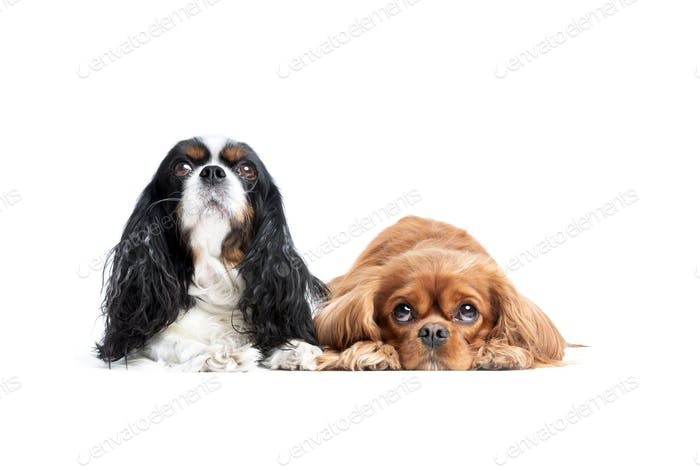 Two cute spaniels looking up