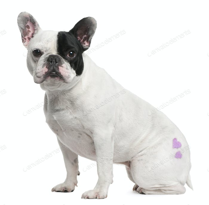 French Bulldog, 3 years old, with tattoo sitting in front of white background