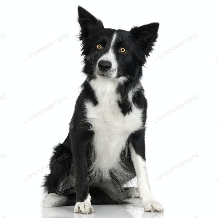 Border Collie (1 years)