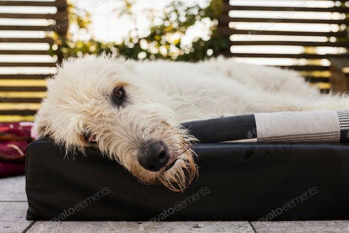 Portrait of Irish Wolfhound lying down