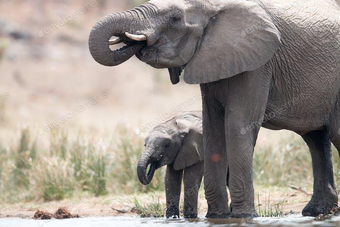 Drinking herd of Elephants.