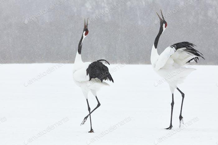 Rotgekrönte Kraniche (Grus japonensis) stehen im Winter im Schnee.