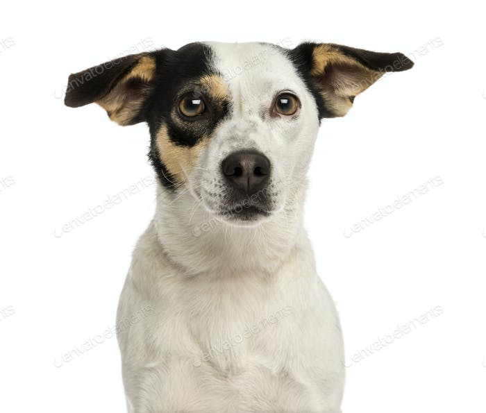 Close-up of a Jack russel terrier, isolated on white