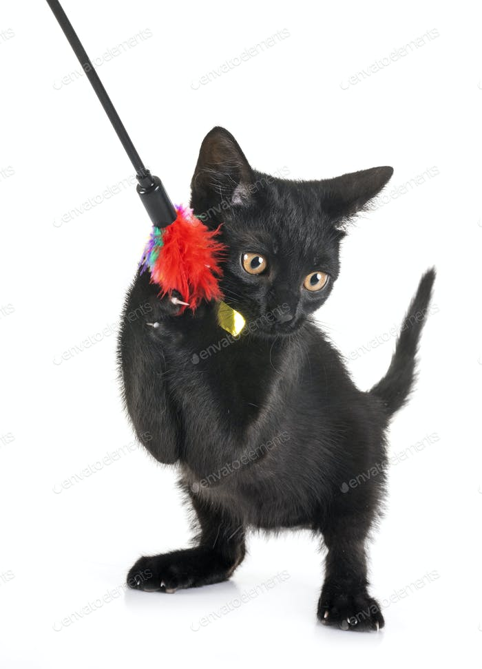 black kitten in studio