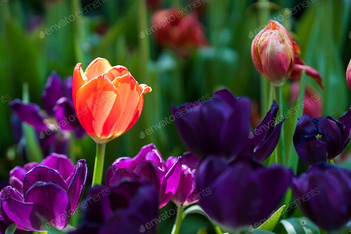 Red and purple tulips in the garden-13