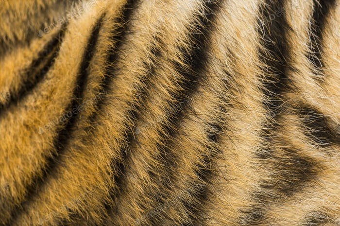 Close up of two months old tiger cubs fur