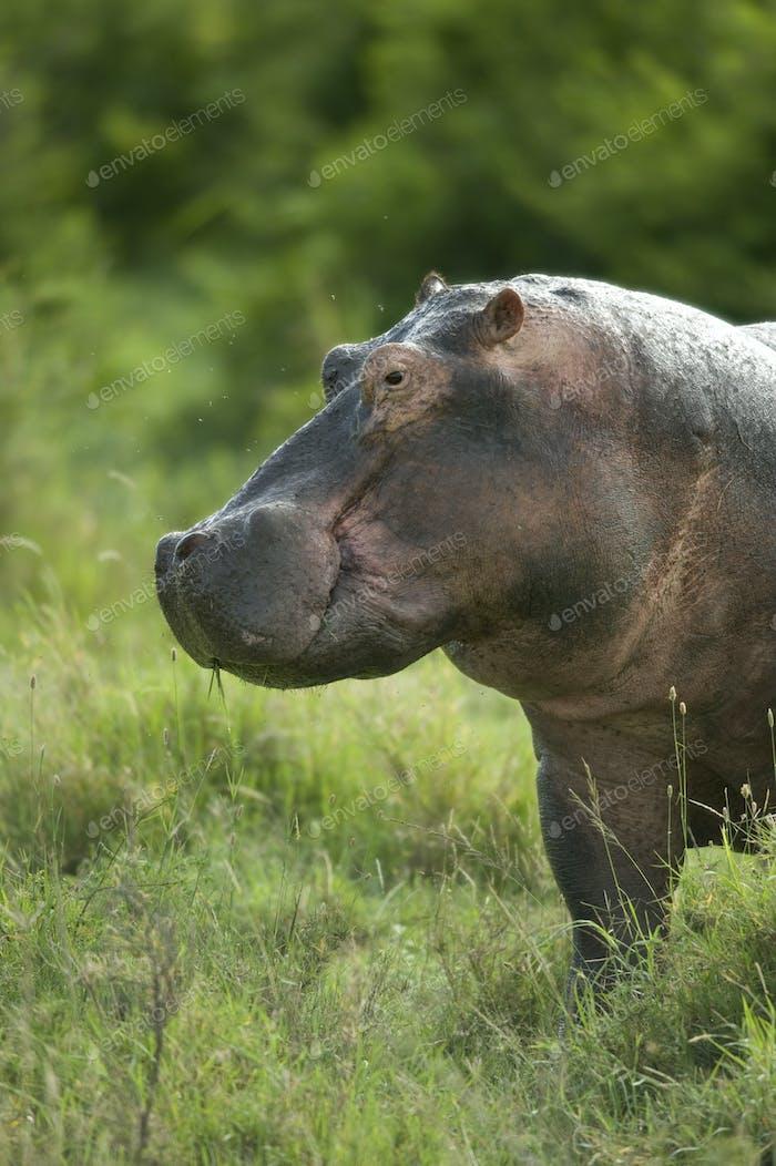 hippopotamus in the serengeti reserve