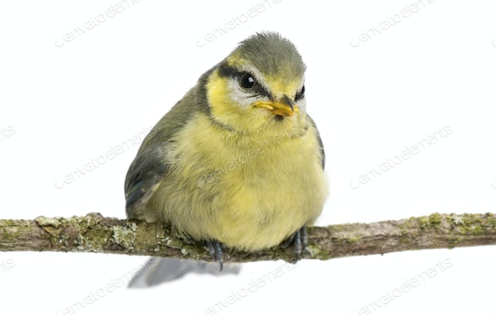 Thumbnail for Blue Tit, 23 days old, perching on branch against white background