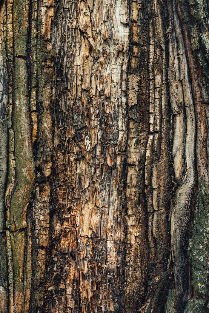 Old maple tree bark texture