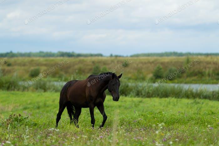 Zuchtpferd auf der Weide