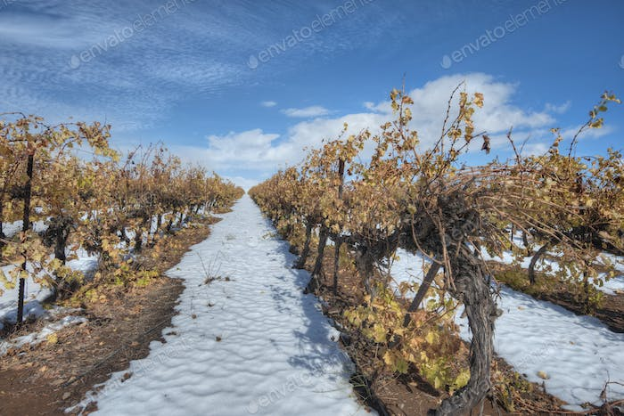 45055,Grapevines In Snow