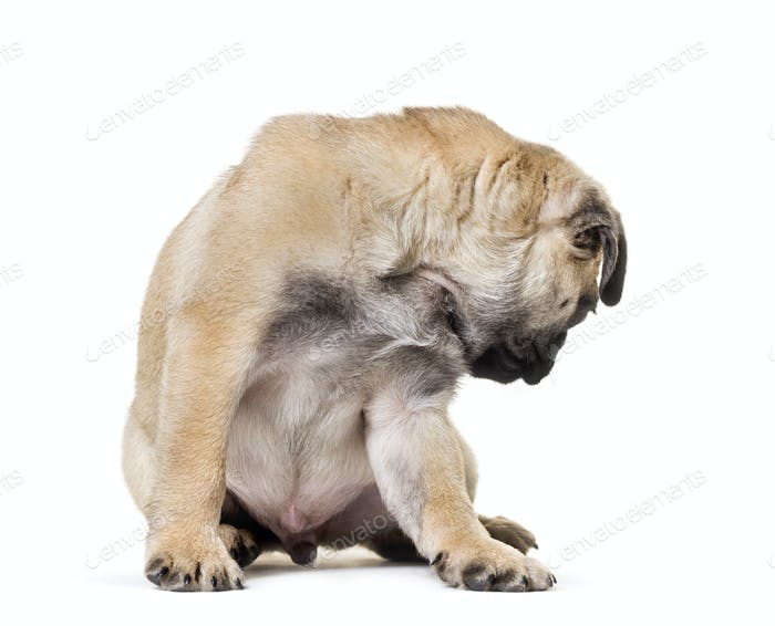 Pug Puppy looking back sitting against white background