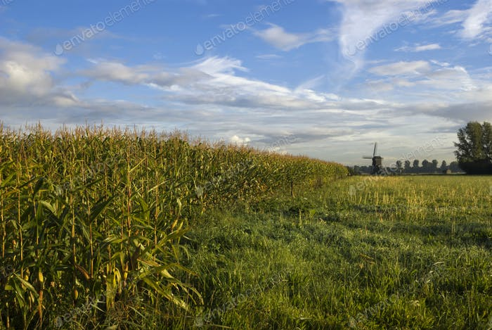 Cornfield near Uppel on a crispy clear morning
