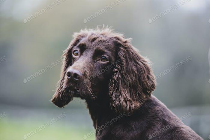 Nahaufnahme von Brown Spaniel Hund sitzt auf einem Feld.