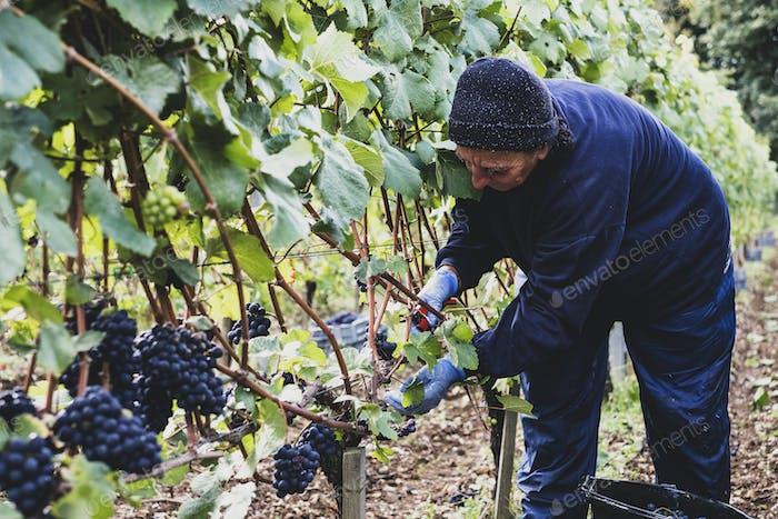 Frau beugt sich über, mit Handschuhen und Gartenschere, in einem Weinberg, der Trauben aus schwarzen Trauben erntet.