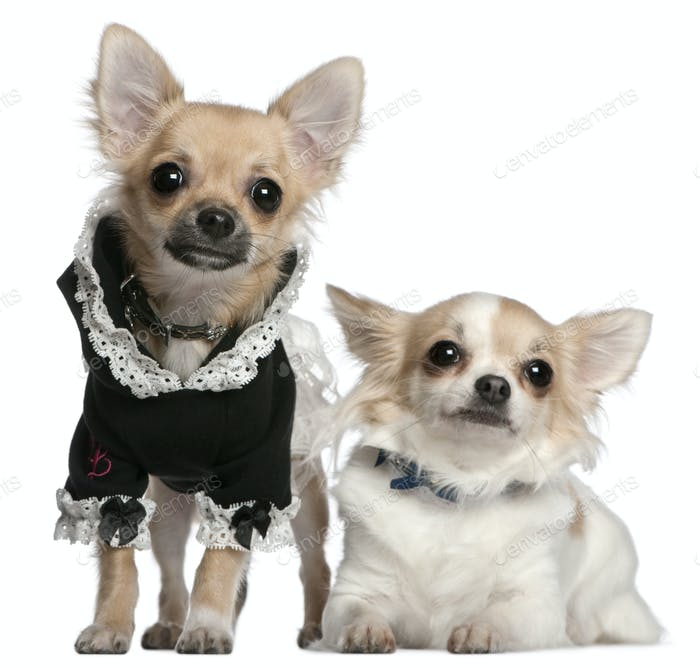Chihuahua, 3 years old, and Chihuahua puppy, 6 months old, dressed up in front of white background