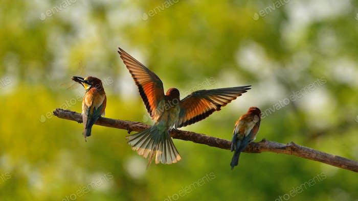 Abejarabejera europea (Merops apiaster) en hábitat natural