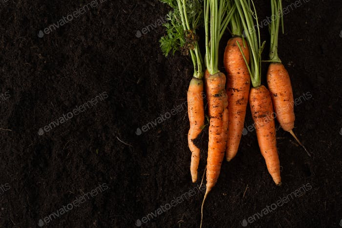 Fresh carrots on dark soil background texture