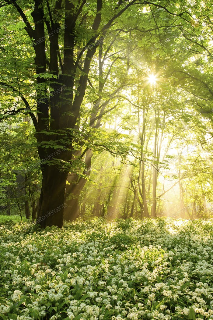 Field of blooming ramsons under a tree illuminated by sunbeams