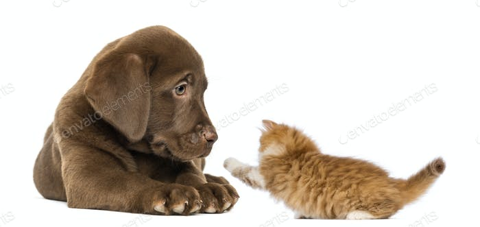 Labrador Retriever Puppy lying and looking at a playful ginger kitten