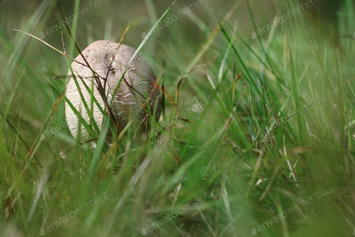 Small parasol mushroom in the grass