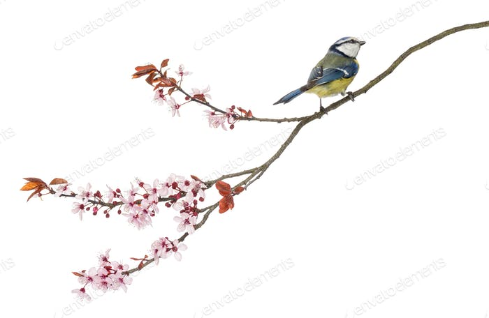 Side view of a Blue Tit perching on a blossoming branch, Cyanistes caeruleus, isolated on white
