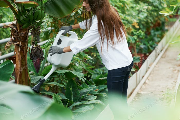 Banana tree. Process of watering the plants in greenhouse by beautiful young brunette