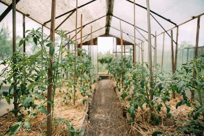 Tomatoes Vegetables Growing In Raised Beds In Vegetable Garden H