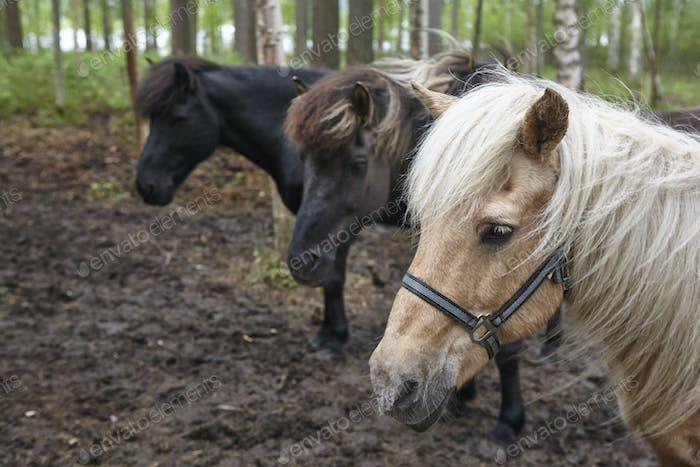 Pferde in einer finnischen Waldlandschaft. Tierhintergrund. Horizontal