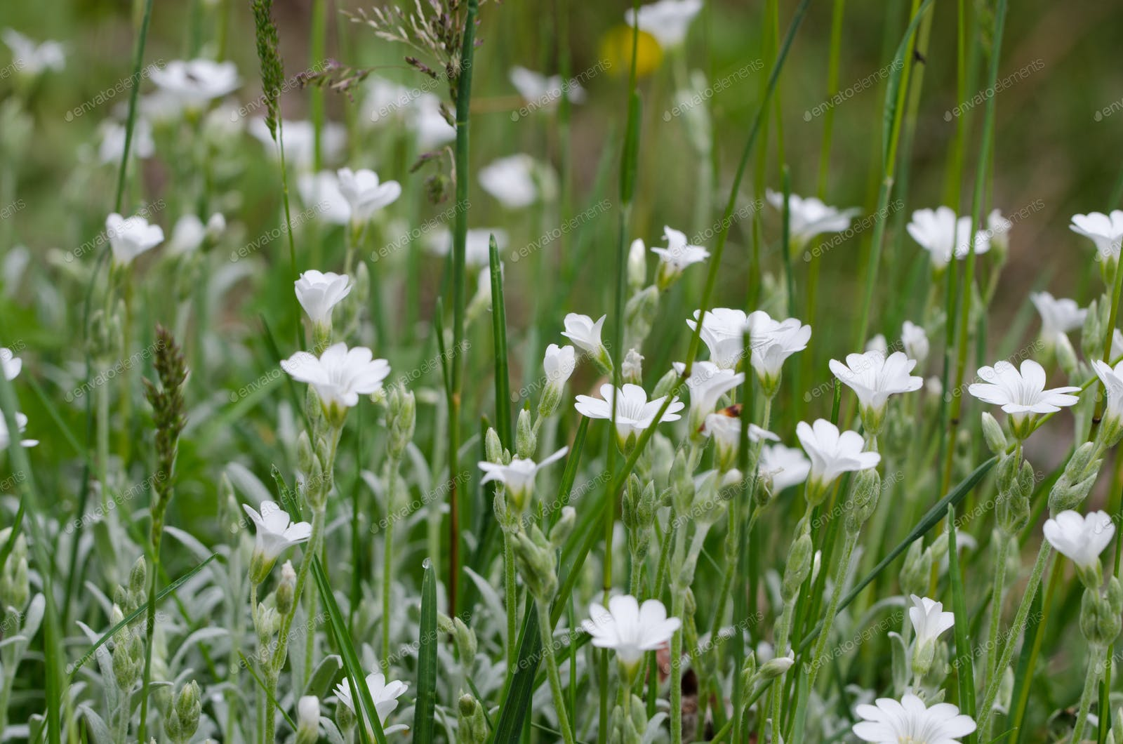 Tiny White Flowers In Grass Photo By Cmbankus On Envato Elements