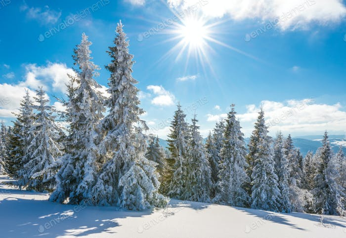 Tall slender snowy fir trees grow on a hill