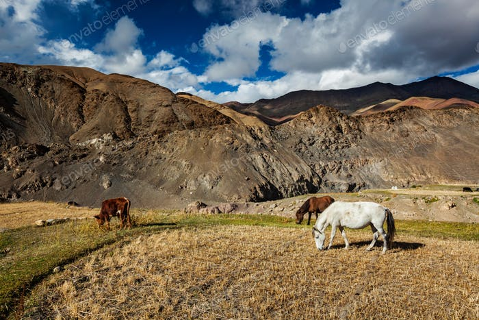 Horses and cow grazing in Himalayas. Ladakh, India