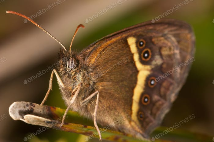 Butterfly (Pyronia bathseba)