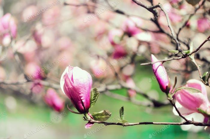 Blühender Magnolienbaum im Frühjahr Sonnenstrahlen. Selektiver Fokus. Kopierraum. Ostern, Blütenfrühling