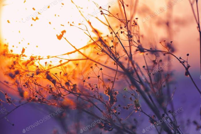 Getrocknete Blumen auf einem Hintergrund Sonnenuntergang