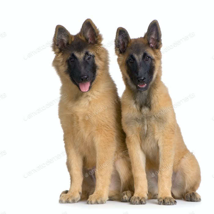 Couple of two Puppy Belgian Tervuren