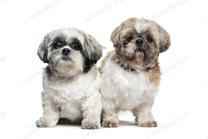 two Standing Shih-tzu dogs, isolated on white
