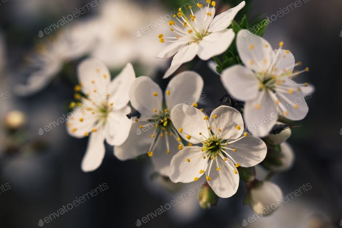Spring blossom flowers apricot