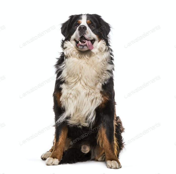 Sitting Bernese Mountain Dog panting, cut out