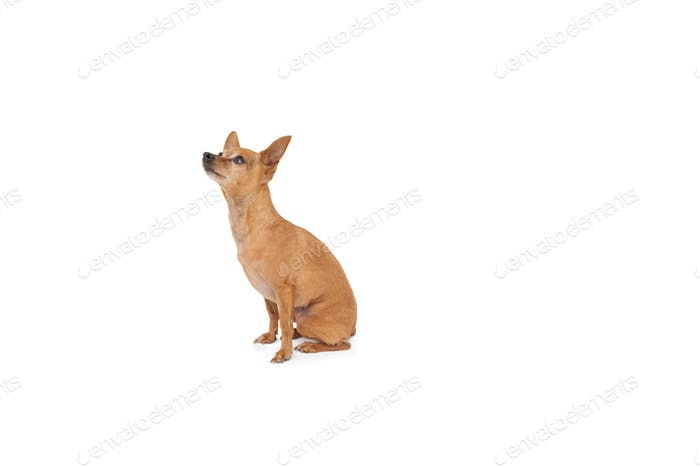 Full length side view of a dog looking up over white background