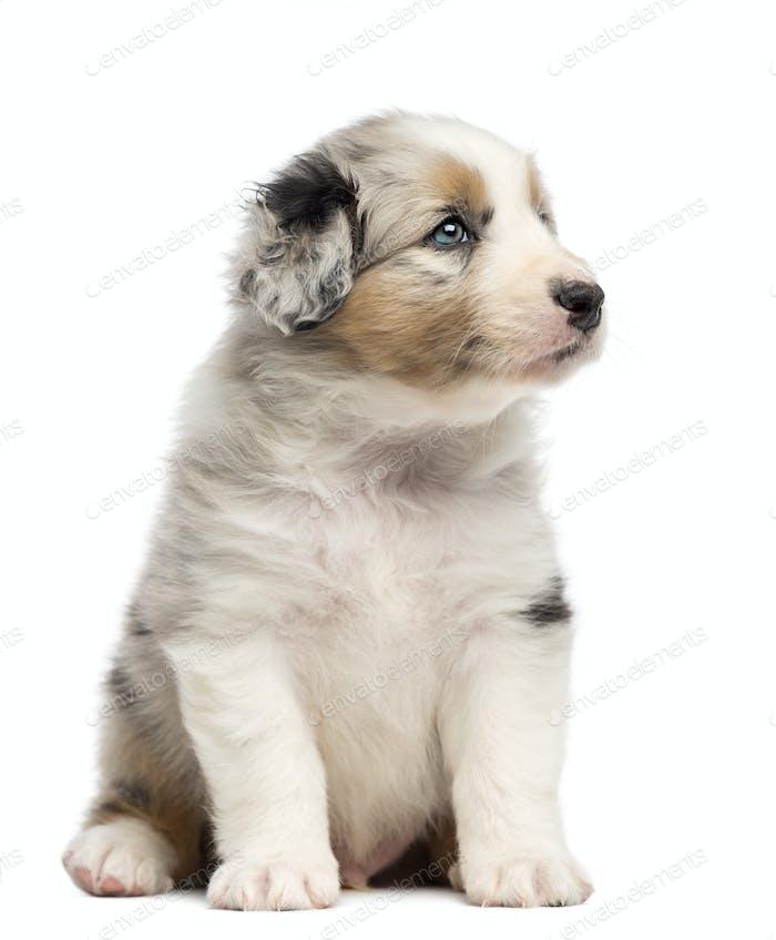 Australian Shepherd puppy, 1 months and 3 days old