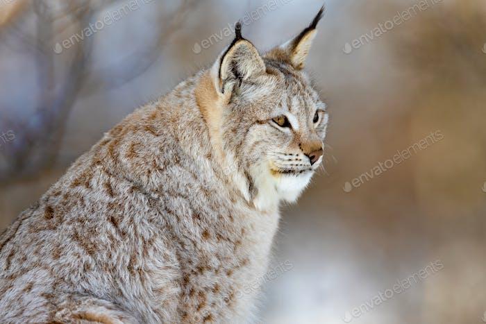 Closeup of alert brown furry lynx looking away