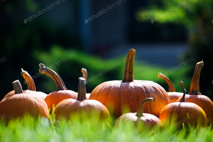 Different kind of pumpkins in garden grass